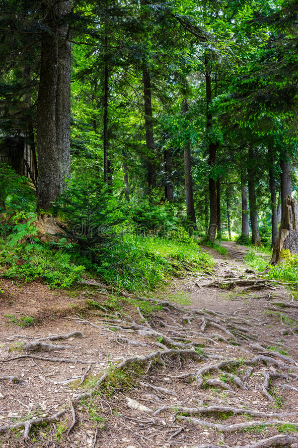Narrow path in a coniferous forest stock photo