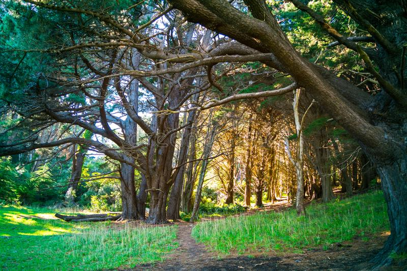 A narrow path leading to a sunlit clearing in a pine forest stock image