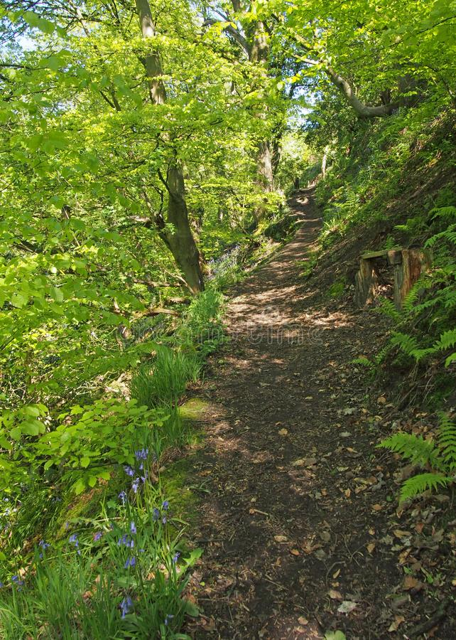 Narrow path through vibrant green spring woodland along the side of a steep valley surrounded by ferns and bluebells. A narrow path through vibrant green spring stock image