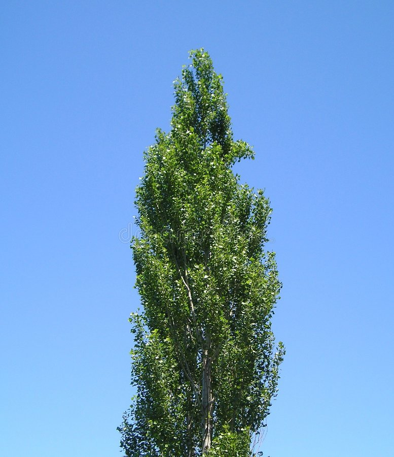 Download Narrow Treetop stock image. Image of growth, lone, point - 183645