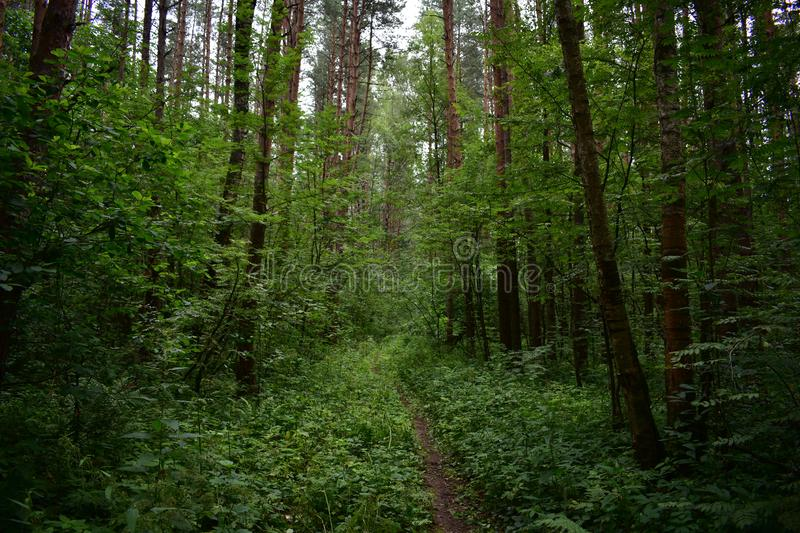 A narrow winding path leads into a dark forest of stately aspen trees high above you babbling. About royalty free stock image