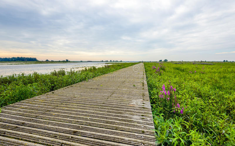 Narrow wooden footbridge over vegetation in a nature reserve. Narrow wooden footbridge made of planks over the vegetation of a Dutch nature reserve. It is early royalty free stock photos