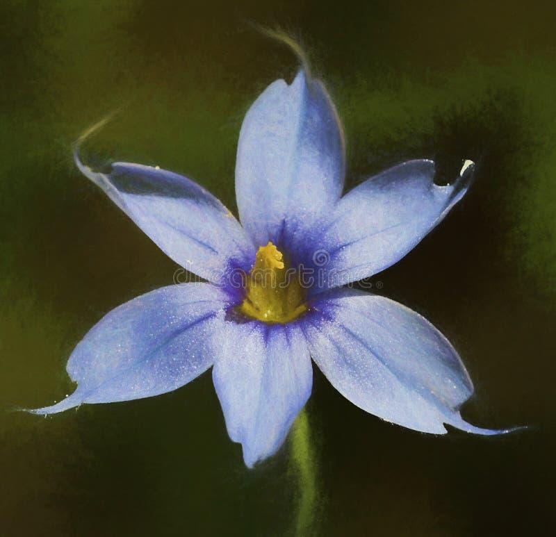 Narrowleaf蓝眼睛的草-北美春季香草angustifolium 免版税库存照片