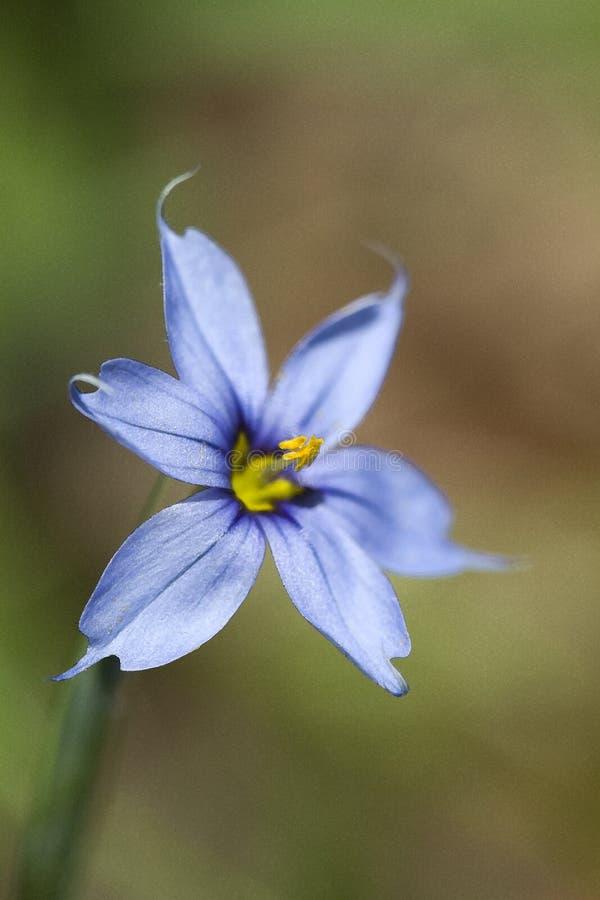 Narrowleaf blåögt gräs - Sisyrinchiumangustifolium arkivfoton