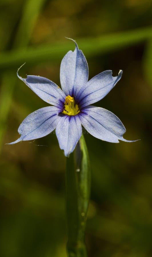 Narrowleaf blåögt gräs - Sisyrinchiumangustifolium royaltyfria bilder