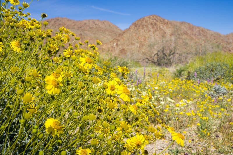 Narrowleaf goldenbushEricameria linearifolia som blommar i Joshua Tree National Park, Kalifornien fotografering för bildbyråer