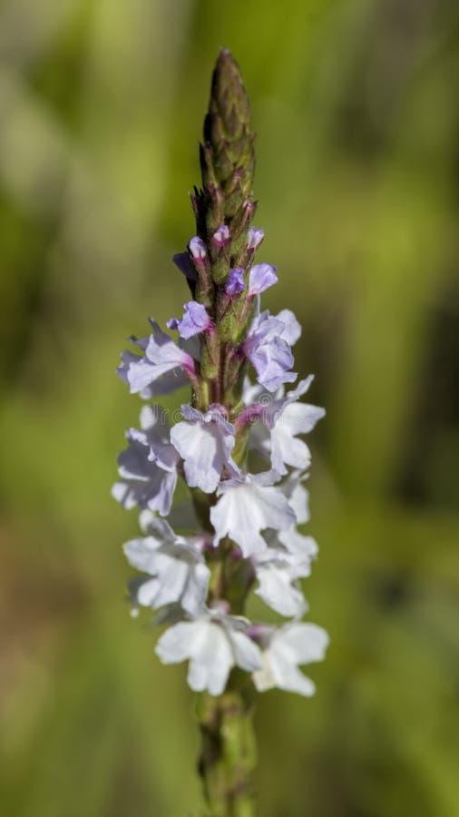 Narrowleaf Vervain - Wildflowers simples do Verbena imagem de stock royalty free
