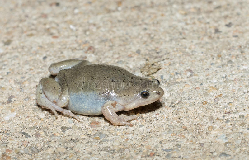 Narrowmouth Toad. The Great Plains narrow-mouthed toad or western narrow-mouthed toad (Gastrophryne olivacea) is a species of microhylid frog found throughout stock photo
