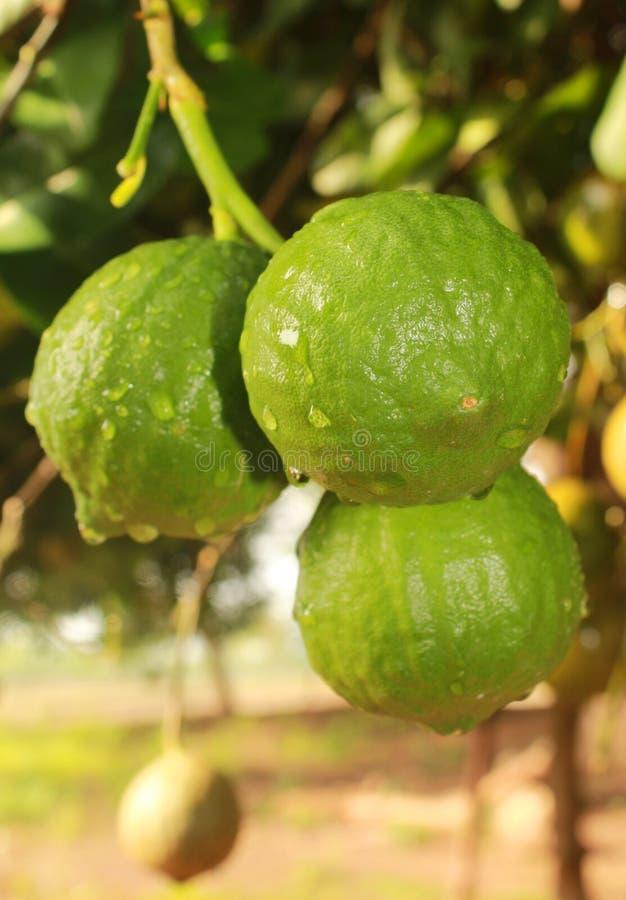 Narthankai [sötcitronfrukter] som hänger i växten arkivbilder