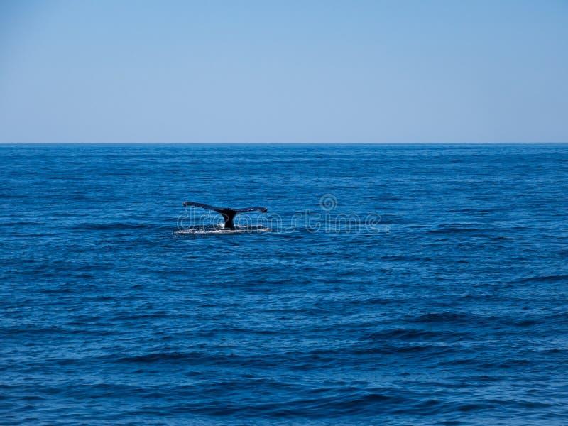 Naruszać wieloryba, Humpback wieloryba ogon na Błękitnym oceanie obraz royalty free