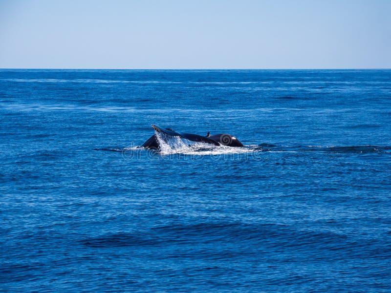 Naruszać wieloryby, Humpback wieloryba plecy i ogon na Błękitnym oceanie, zdjęcie royalty free