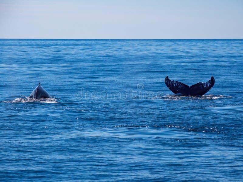 Naruszać wieloryby, Humpback wieloryba plecy i ogon na Błękitnym oceanie, obraz stock