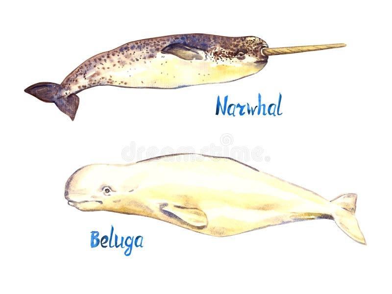 Narwhal和白海豚集合,隔绝在白色背景 向量例证