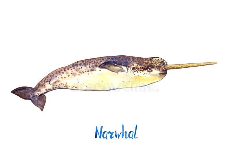 Narwhal,隔绝在白色背景 向量例证