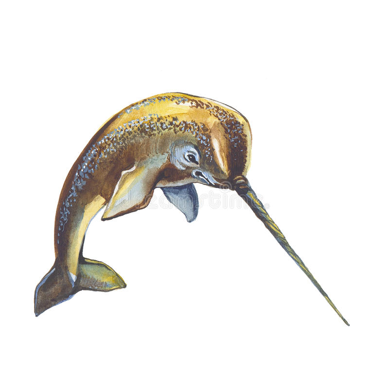 Narwhal. Hand drawing watercolor illustration royalty free illustration