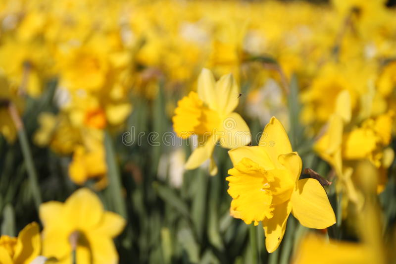 Narzisse auf dem Gebiet von Blumen stockbilder