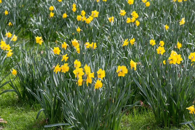Narzissen in der Blüte stockfotos