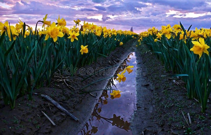 Narzissen fangen am Sonnenuntergang und an der Reflexion im Wasser auf stockfotografie