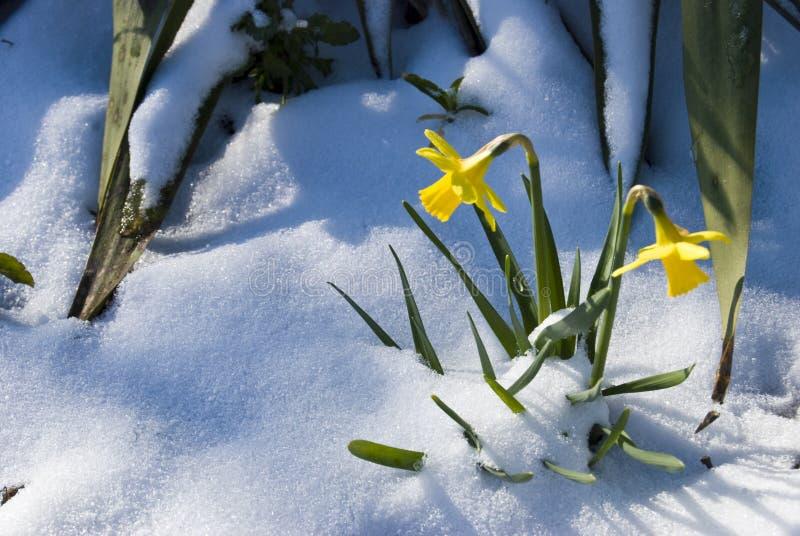 Narzissen im Schnee stockfotos