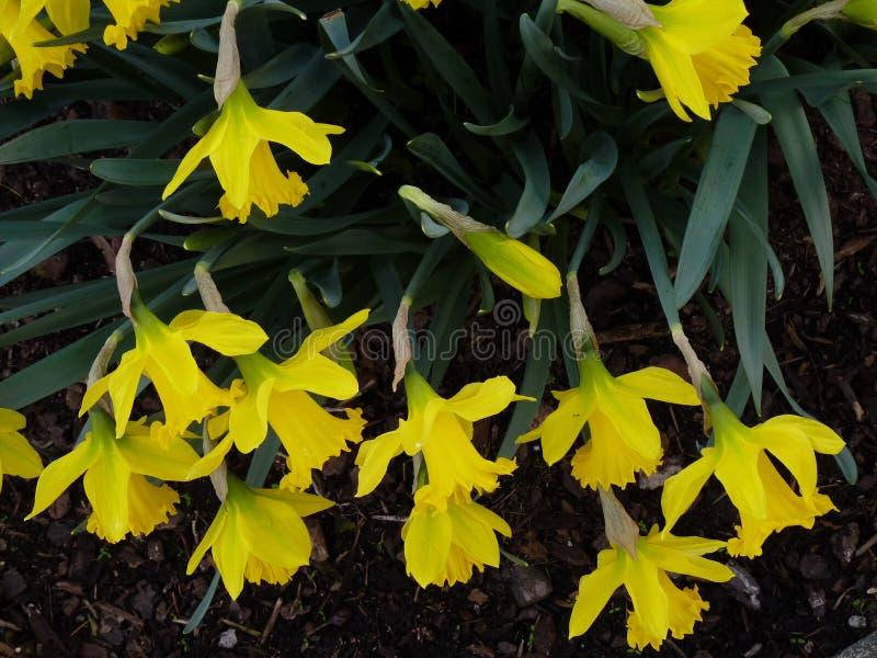 Narzissen Narcissus Spring Flowers stockbilder