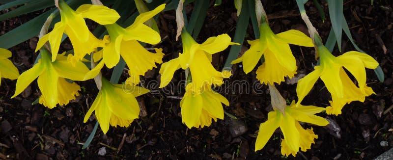 Narzissen Narcissus Spring Flowers stockfoto