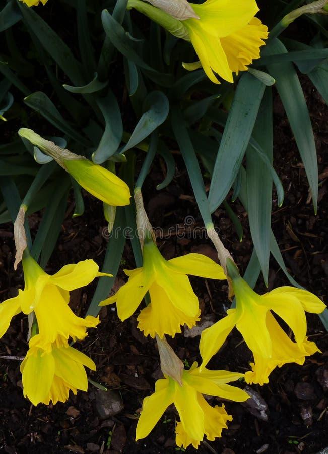 Narzissen Narcissus Spring Flowers lizenzfreies stockfoto