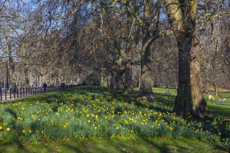 Narzissen in St James Park in London lizenzfreie stockbilder