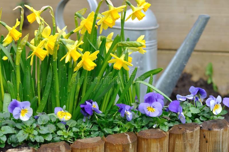 Narzissen und Viola im Garten lizenzfreie stockfotografie