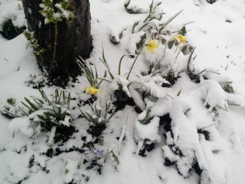 Narzissen unter dem Schnee lizenzfreies stockbild