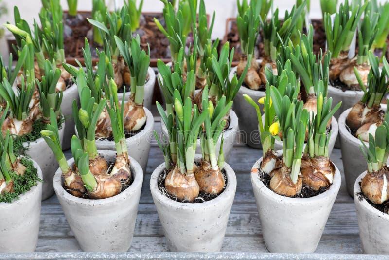 Narzissen wachsen von den Birnen in den Blumentöpfen stockbilder