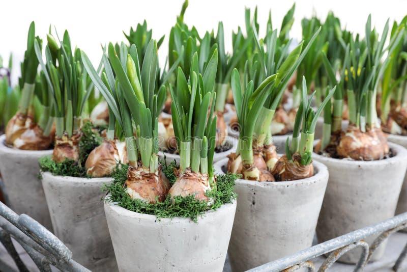 Narzissen wachsen von den Birnen in den Blumentöpfen stockfotografie
