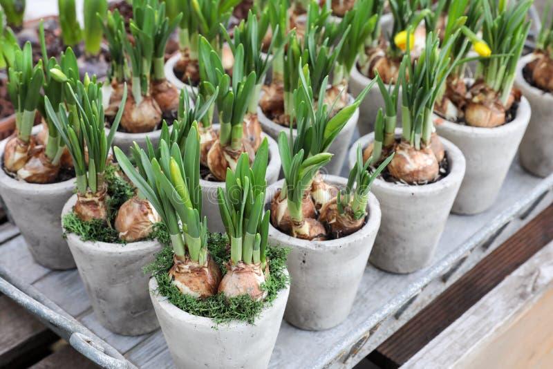 Narzissen wachsen von den Birnen in den Blumentöpfen lizenzfreies stockbild