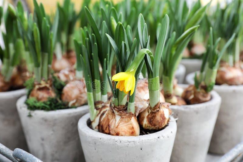 Narzissen wachsen von den Birnen in den Blumentöpfen lizenzfreie stockfotografie