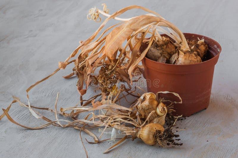 Narzissenbirnen nachdem dem Blühen stockbild