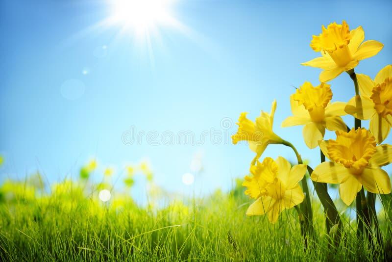 Narzissenblumen auf dem Gebiet stockbild