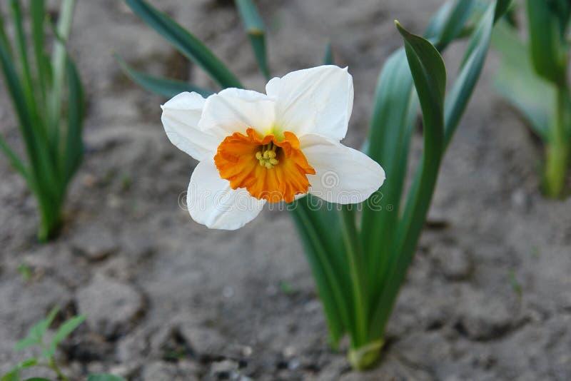 Narzissenblumenblüten auf dem Gartenbett lizenzfreies stockbild