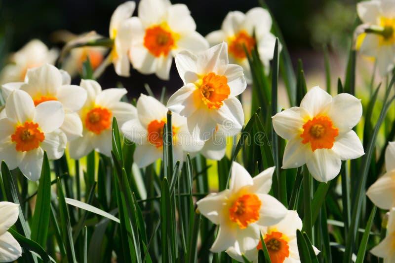 Narzissenblumenfeld Narzissennarzissenblumen mit grünem g lizenzfreie stockbilder