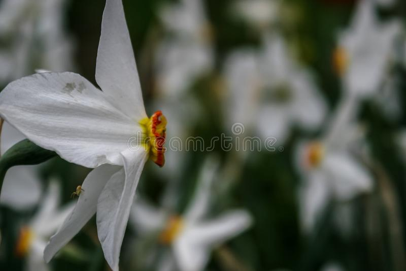 Narzissengruppe auf Garten, Zeit der Narzissenblüte im Frühjahr stockfotos