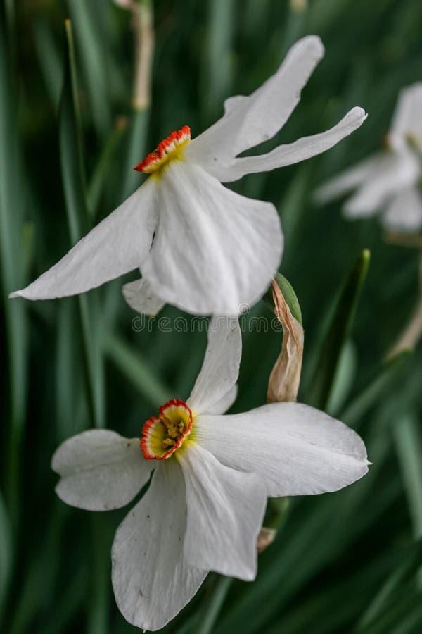 Narzissengruppe auf Garten, Zeit der Narzissenblüte im Frühjahr stockfotografie