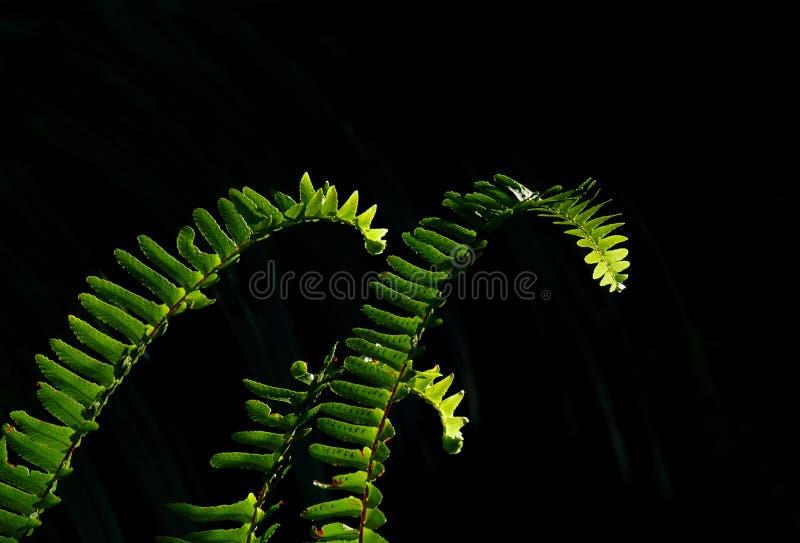 Nasłoneczneni zieleni paprociowi fronds przeciw miękkiemu czarnemu tłu obrazy royalty free