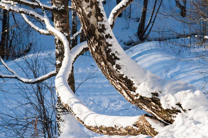 Nasłoneczniony śnieg zakrywał brzozy drzewa w zima lesie zdjęcie stock