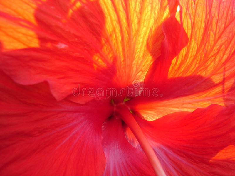 nasłoneczniony hibiskus obrazy royalty free