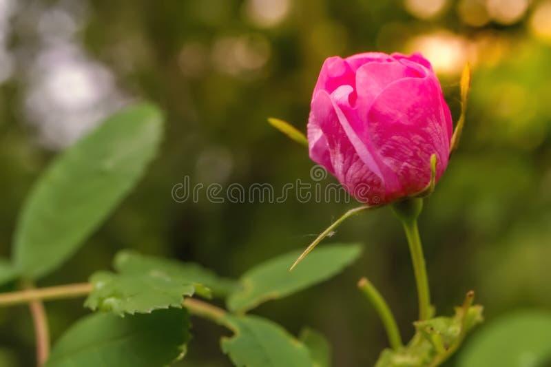 Nasłoneczniony Makro- menchia kwiat zdjęcie stock
