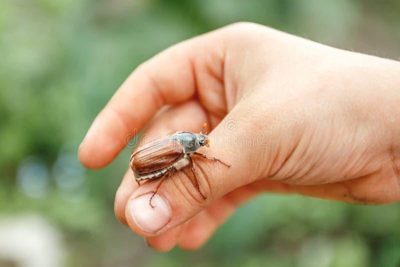 Nas crianças a mão senta um grande besouro do maio-cornetim e está preparando-se para voar afastado Borr?o e close-up imagem de stock