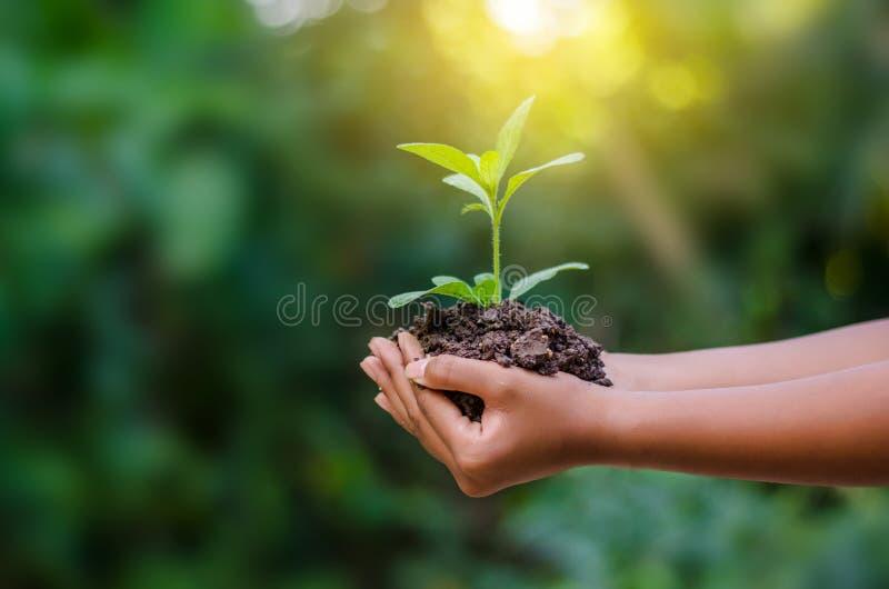 Nas mãos das árvores que crescem plântulas Bokeh esverdeia a mão fêmea do fundo que guarda a árvore na conservação da floresta da foto de stock royalty free