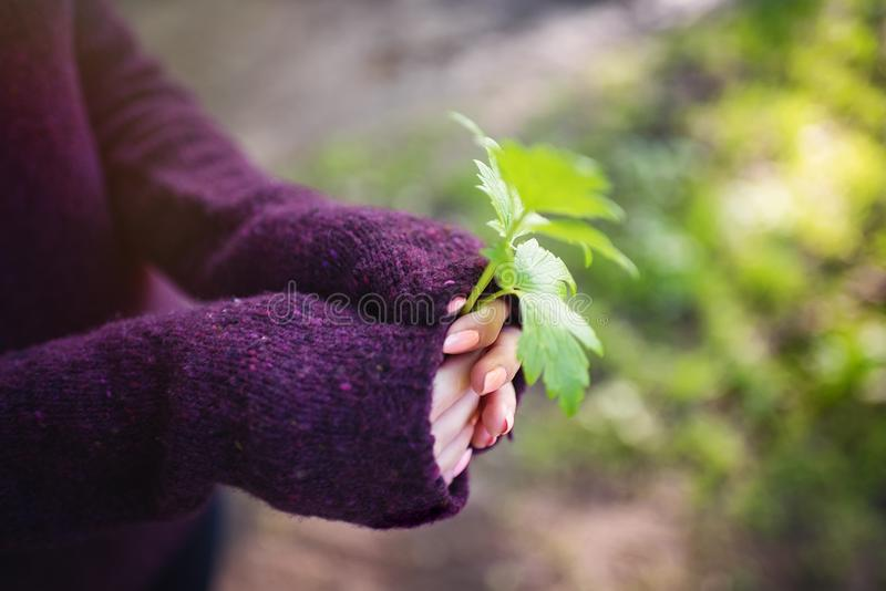 Nas mãos das folhas da planta imagens de stock