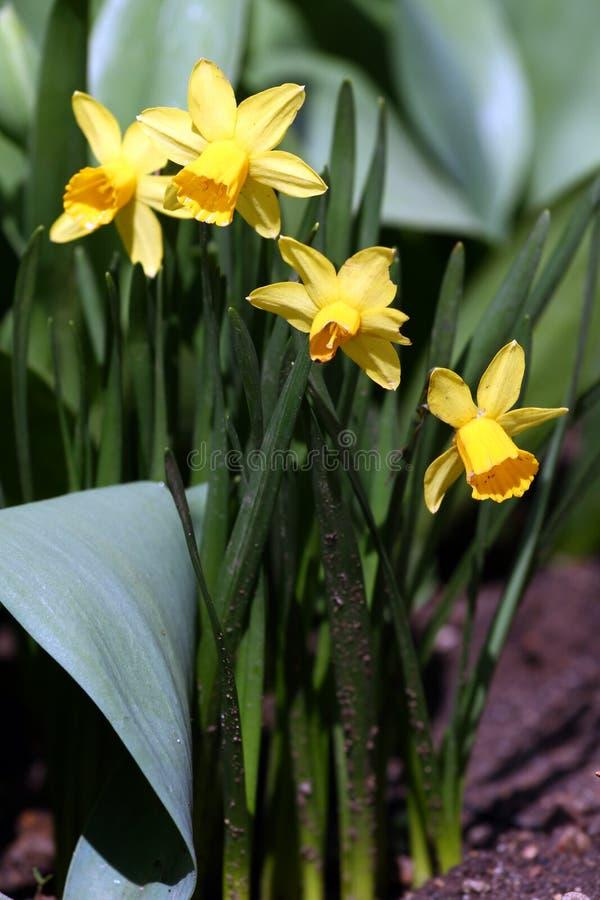 nasals Narzisse Narzisse blüht im Frühjahr in der Natur Narzissenhintergrund Gelbe Blumen, Basisrecheneinheit, Inneres mit Tropfe stockfoto