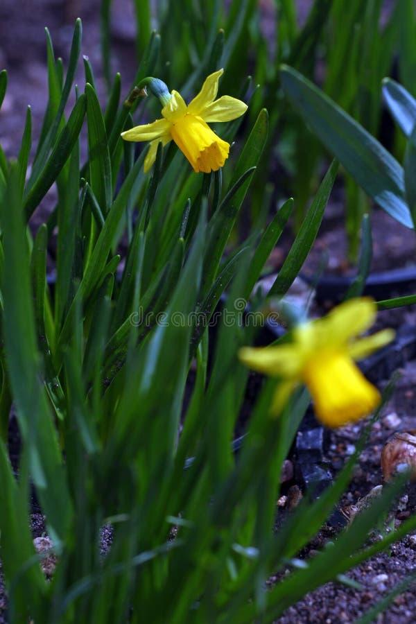 nasals Narzisse Narzisse blüht im Frühjahr in der Natur Narzissenhintergrund Gelbe Blumen, Basisrecheneinheit, Inneres mit Tropfe lizenzfreies stockfoto