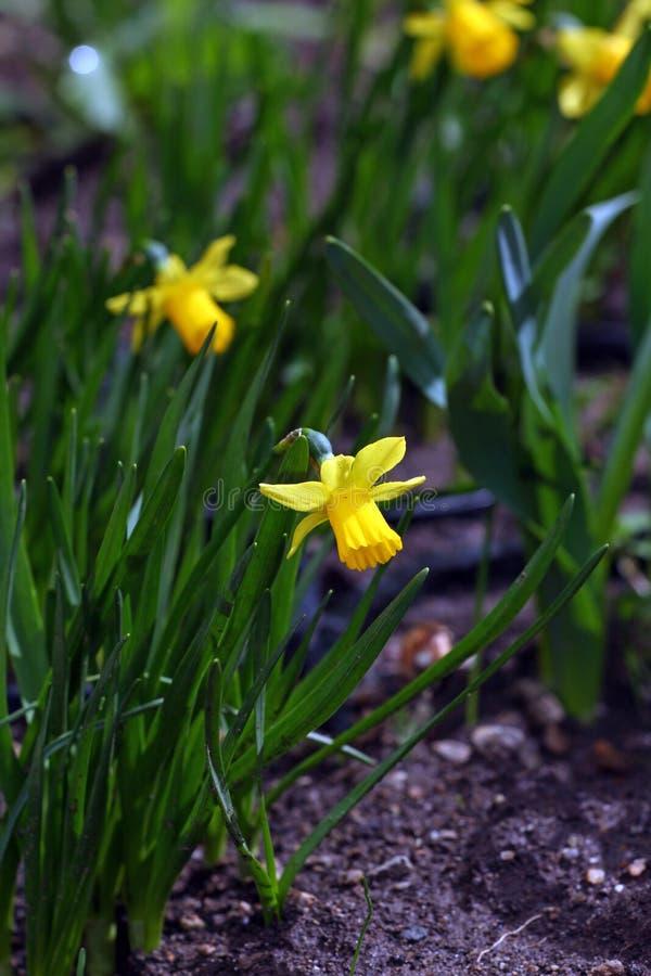 nasals Narzisse Narzisse blüht im Frühjahr in der Natur Narzissenhintergrund Gelbe Blumen, Basisrecheneinheit, Inneres mit Tropfe lizenzfreie stockfotos