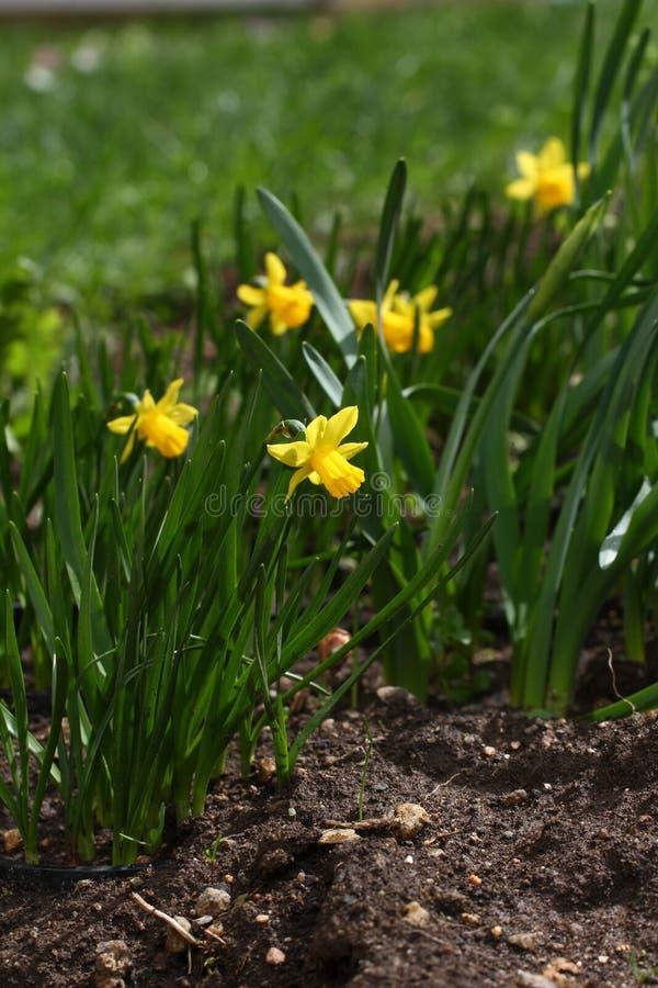nasals Narzisse Narzisse blüht im Frühjahr in der Natur Narzissenhintergrund Gelbe Blumen, Basisrecheneinheit, Inneres mit Tropfe stockfotografie